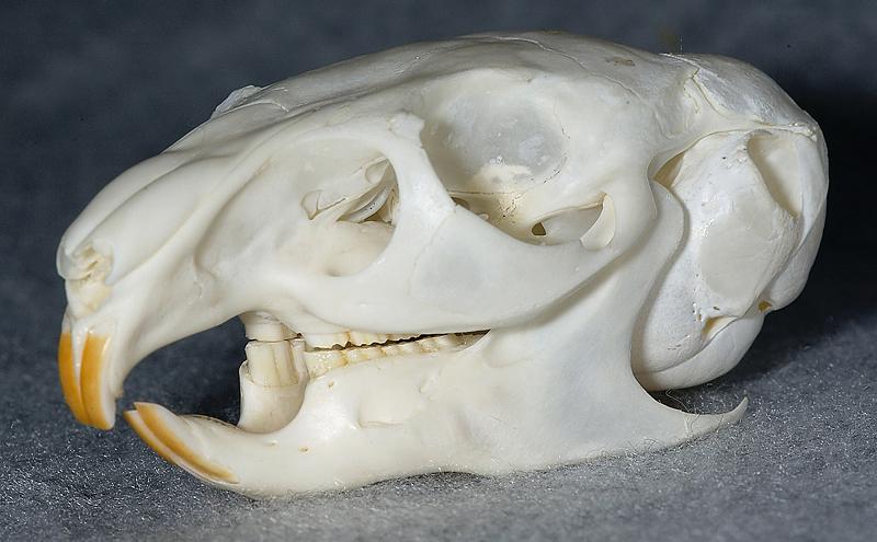 チンチラ頭蓋骨
