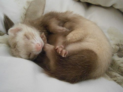 フェレット睡眠