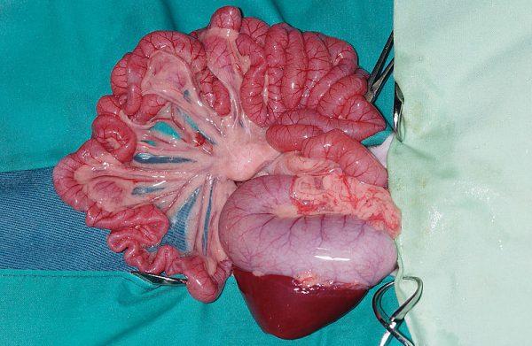 フェレット胃腸