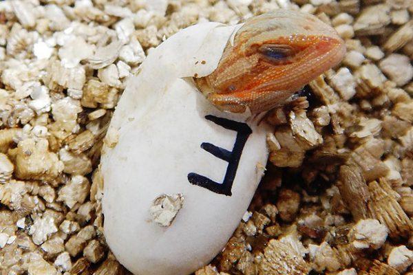 フトアゴヒゲトカゲ孵化