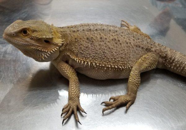 フトアゴヒゲトカゲ妊娠