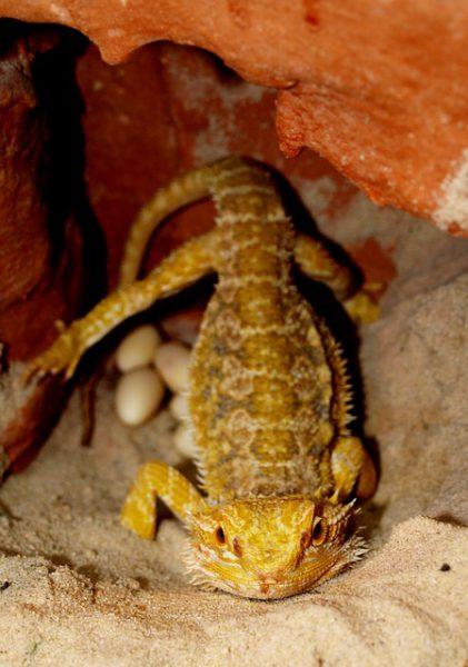 フトアゴヒゲトカゲ産卵床