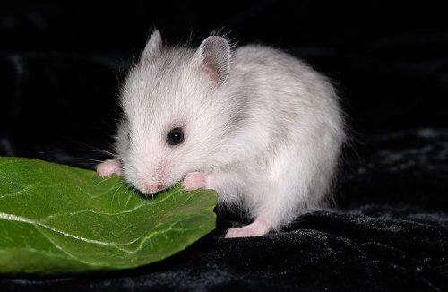 ハムスター野菜