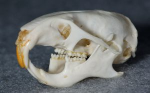 ハムスター頭骨骨格