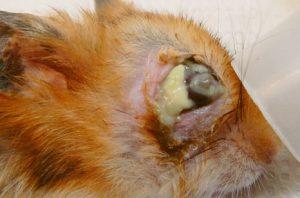 ハムスター根尖膿瘍