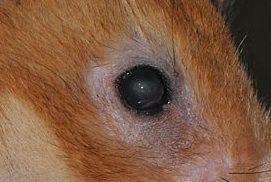 ハムスター角膜炎