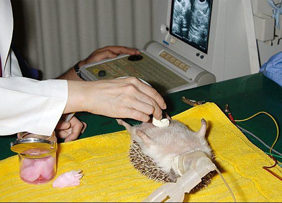 ハリネズミの子宮のエコー検査