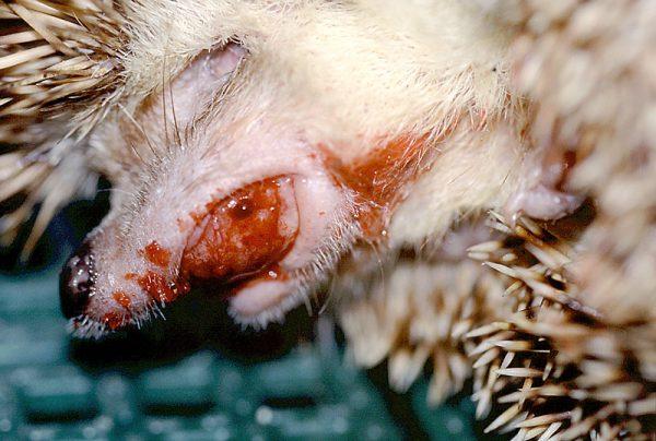 ハリネズミの口からの出血