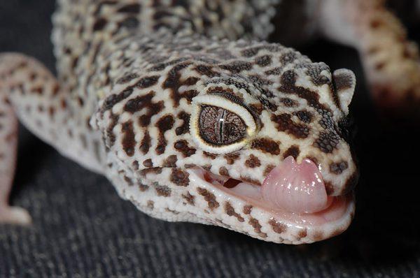 ヒョウ門トカゲモドキの舌