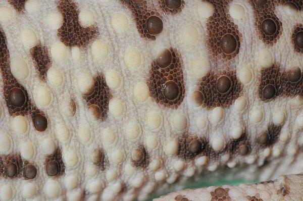 ヒョウモントカゲモドキの鱗