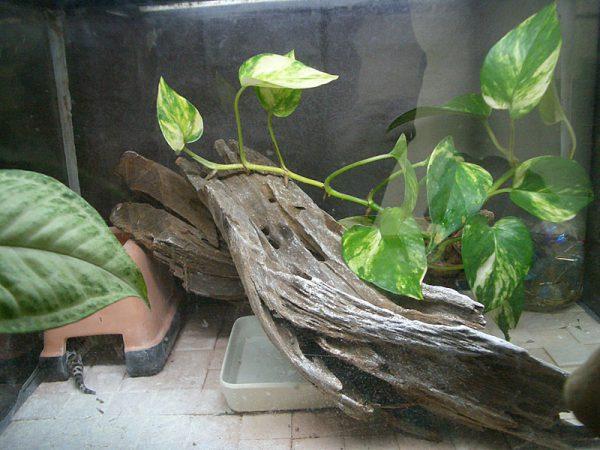 ヒョウモントカゲモドキの飼育