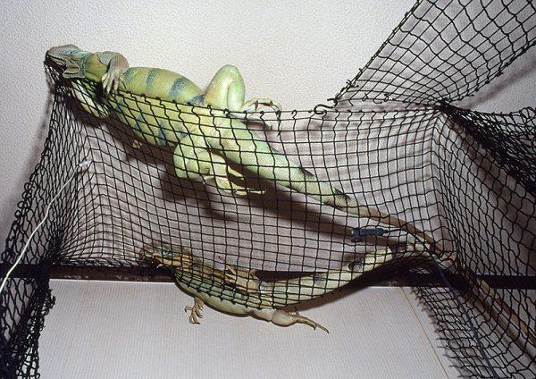 イグアナの飼育