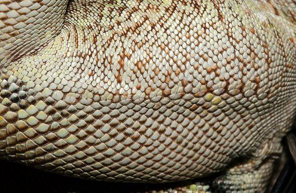 イグアナのメスの大腿腺