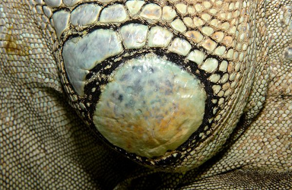 グリーンイグアナの鱗