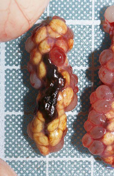 イグアナ卵胞