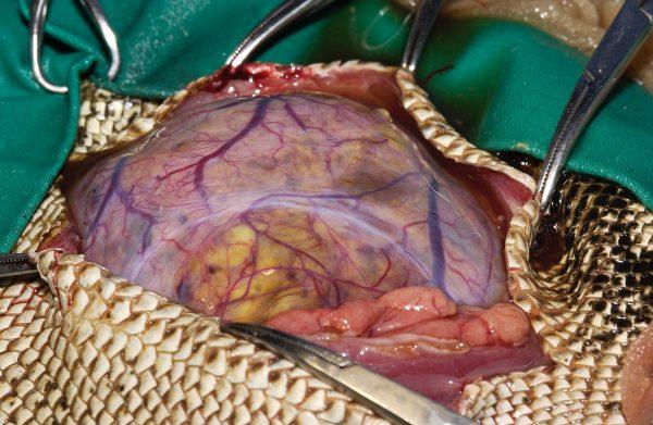 イグアナ卵巣腫瘍