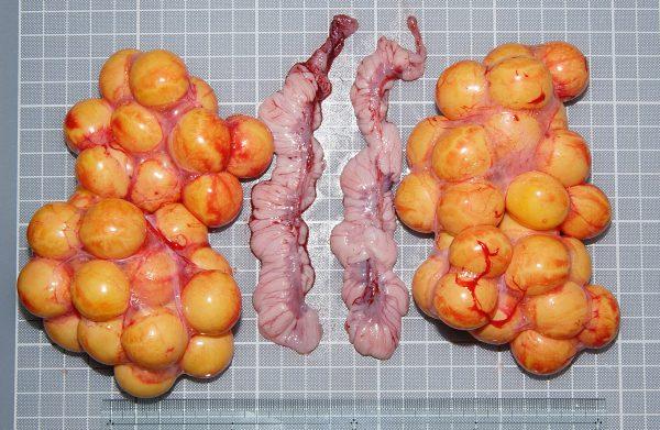 イグアナ卵巣と卵管