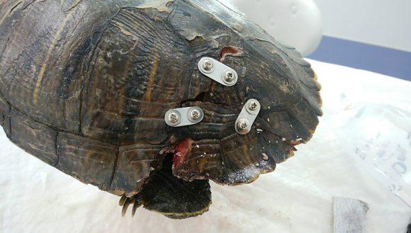 カメの甲羅損傷
