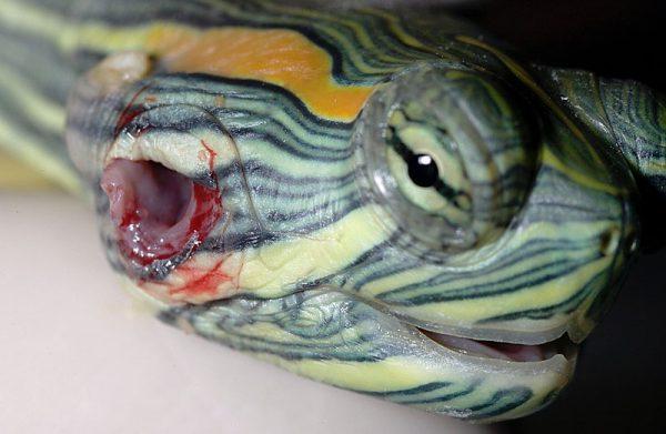 アカミミガメ中耳炎
