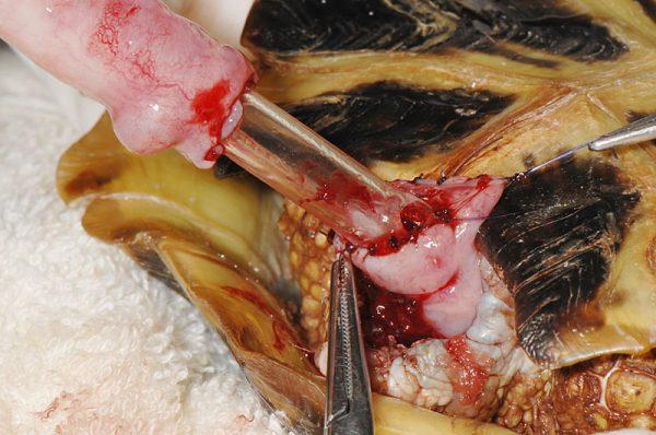 リクガメの直腸脱