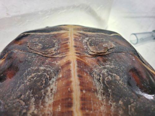 カメの甲羅の脱皮不全