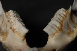 モルモット奥歯