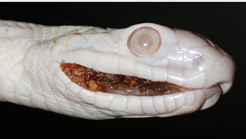 ヘビマウスロット