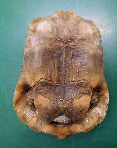 アラブギリシャリクガメ