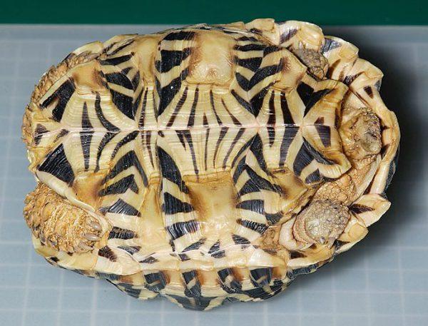 インドホシガメの腹甲