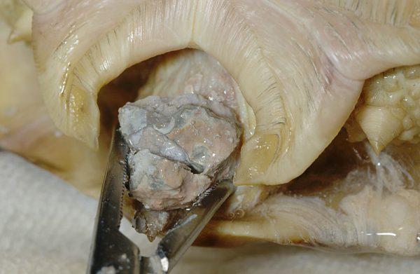 カメ膀胱結石