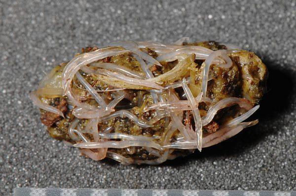 リクガメの蟯虫