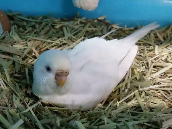 セキセイインコ抱卵