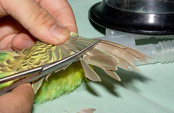 セキセイインコの羽切り