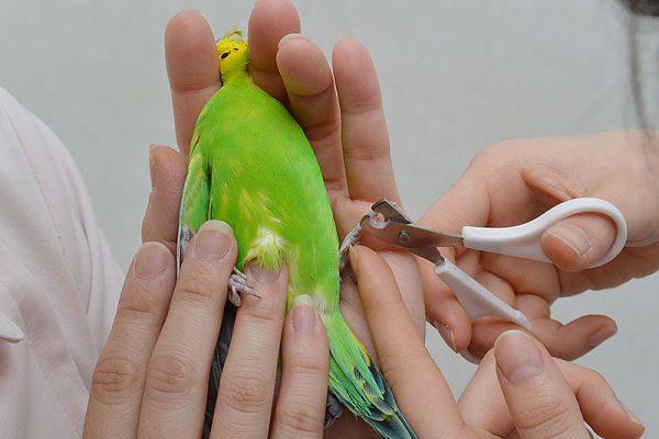 鳥の爪切り