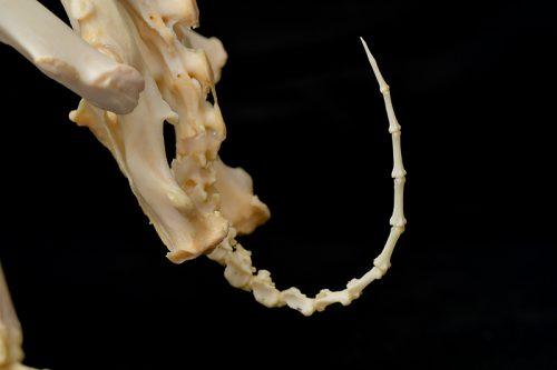 ウサギの尾骨