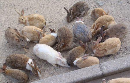 ウサギの集団