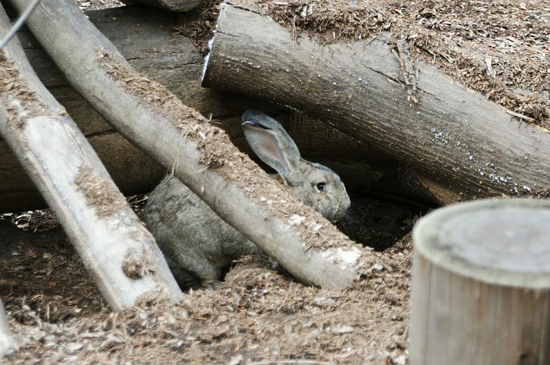 ウサギの穴掘り