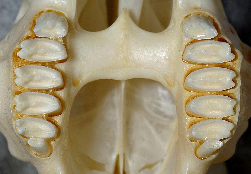 ウサギの奥歯