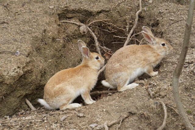 ウサギ巣穴