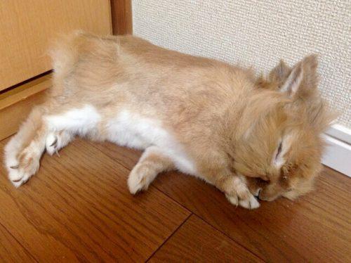 ウサギ睡眠