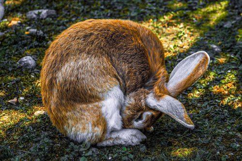 ウサギ食糞