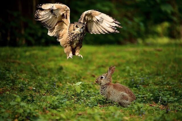 ウサギ天敵