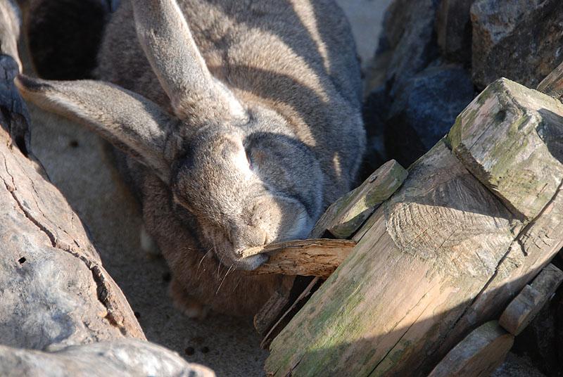 木を齧るウサギ