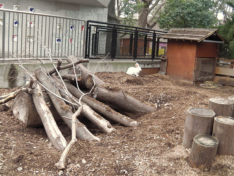 屋外飼育のウサギ