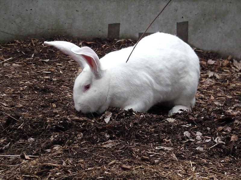 地面を掘るウサギ