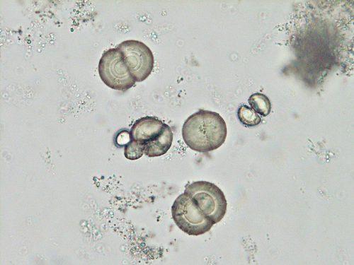 ウサギ尿カルシム結晶