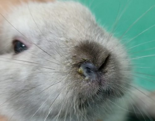 ウサギスナッフル