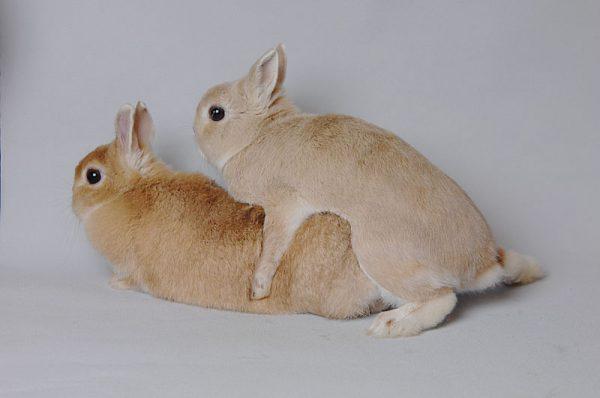 ウサギ交尾