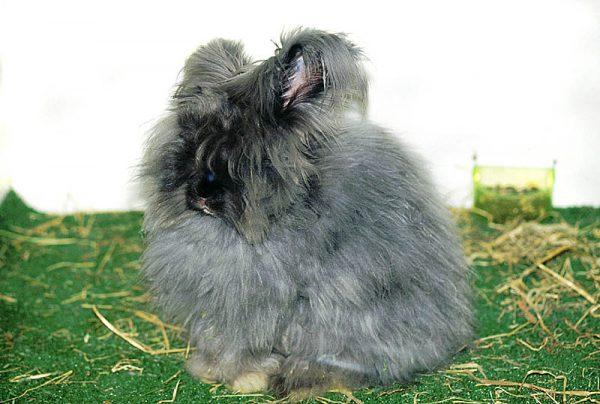 ウサギアンゴラ