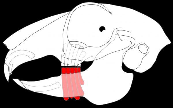 ウサギの歯のイラスト